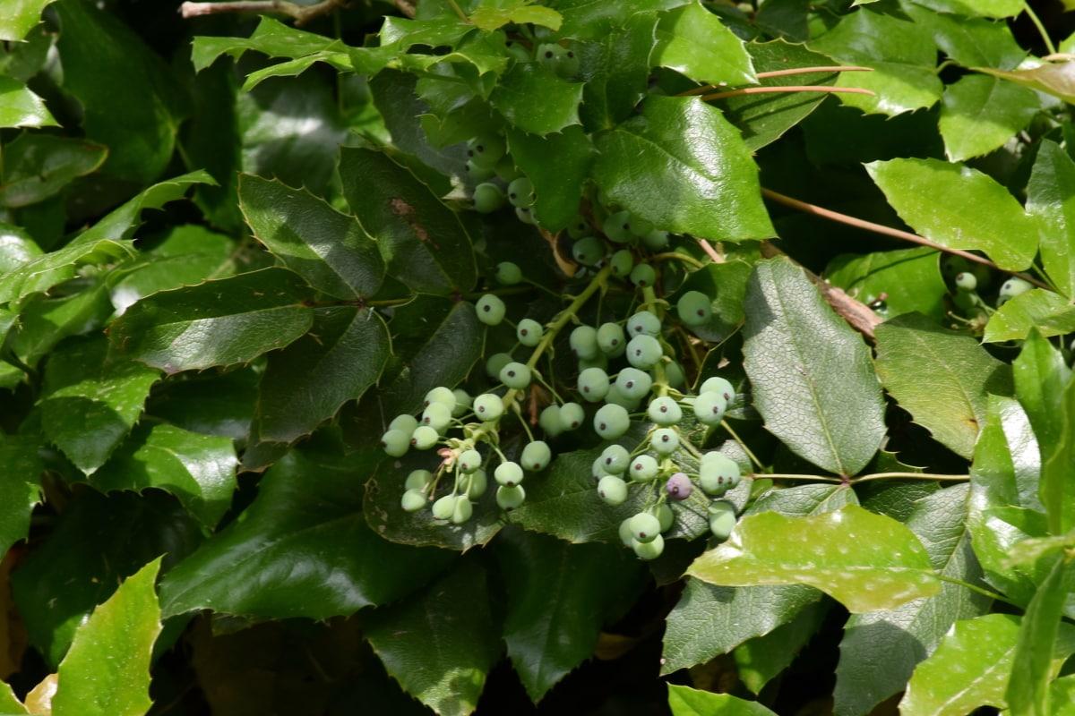 Büsche, grüne Blätter, Anlage, Struktur, Wein, Natur, Strauch, Blatt, Trauben, Flora