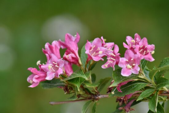 beautiful flowers, branches, bushes, green leaves, pinkish, spring time, flower, nature, flora, garden