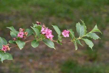 branches, green leaves, pinkish, spring time, garden, blossom, leaf, nature, shrub, plant