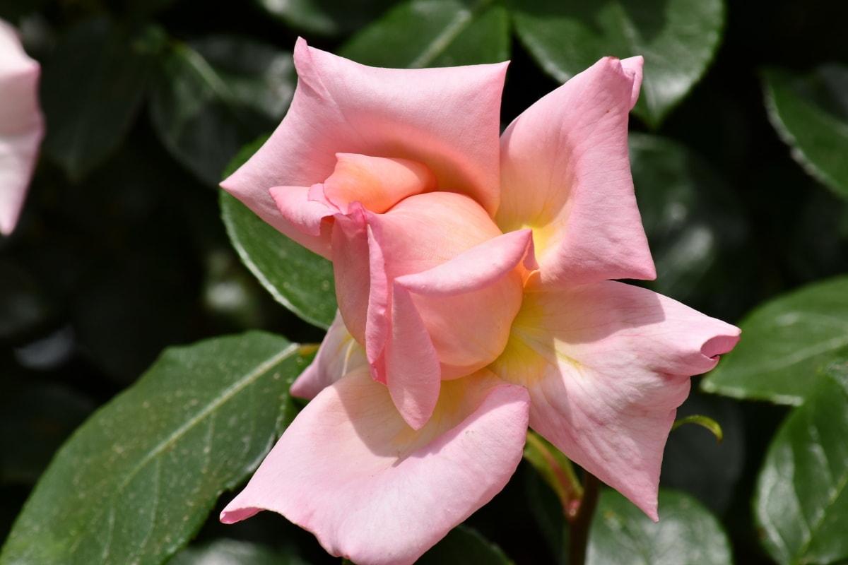 mooie bloemen, mooi beeld, roze, natuur, blad, struik, plant, bloesem, tuin, knop