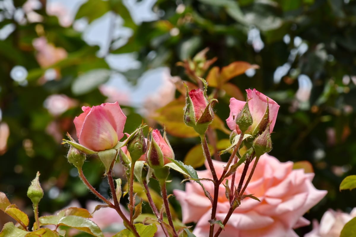 Geäst, Blumengarten, Rosa, Blatt, Blume, Anlage, Strauch, Natur, stieg, Flora