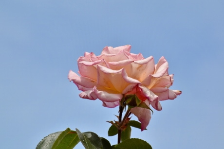 blue sky, green leaves, pinkish, rose, blossom, bloom, flower, bud, petal, plant