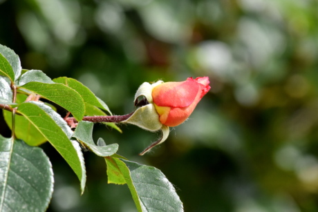flower bud, flower garden, horizontal, orange yellow, leaf, flower, nature, bud, rose, outdoors