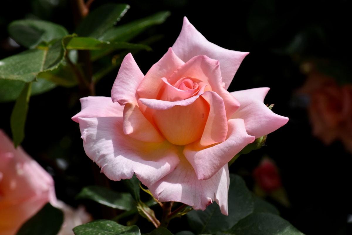 elegáns, virágoskert, rózsaszínes, Rózsa, virág, természet, levél, rózsaszín, cserje, bimbó