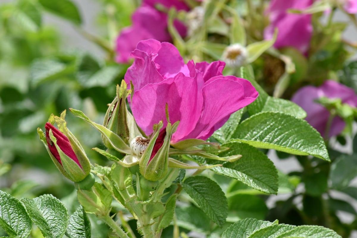 Bahçe, pembe, doğa, Yaz, flora, çiçek, yaprak, çiçeği, bitki, çalı