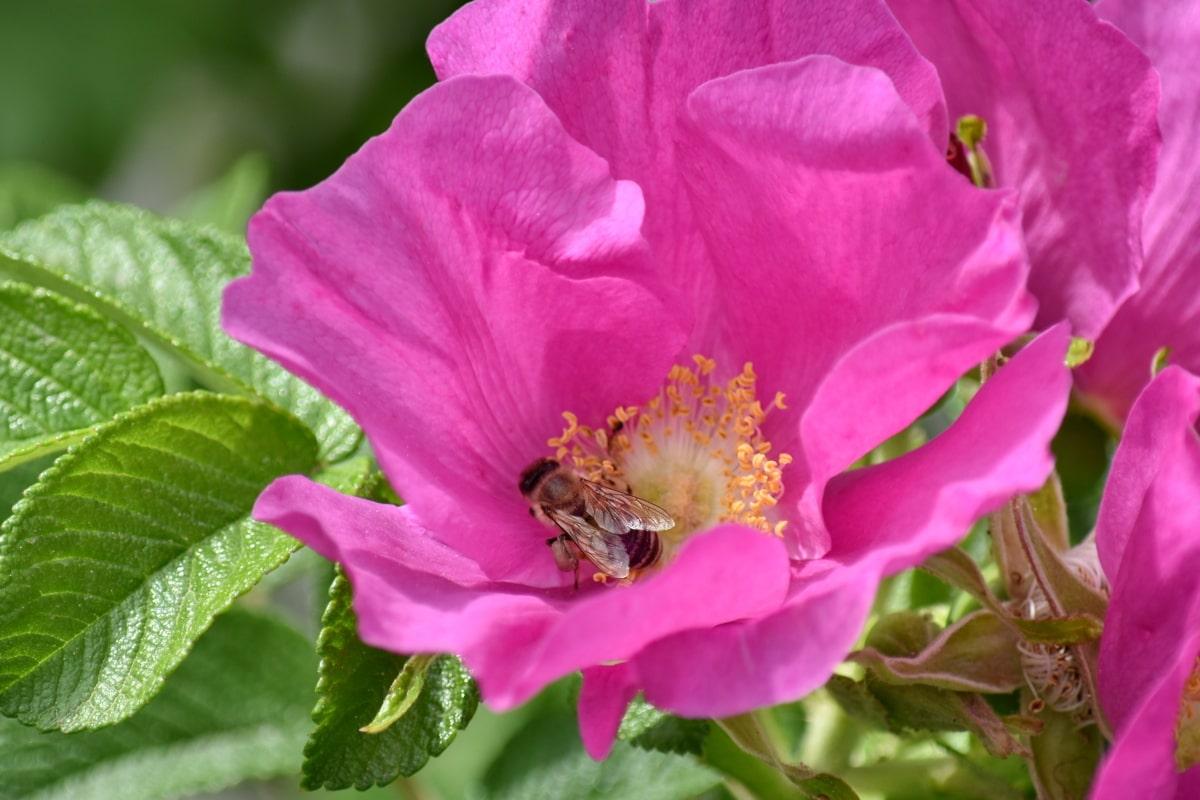 хубаво време, медоносната пчела, насекоми, цветен прашец, опрашващи, дива природа, Роза, цвят, природата, розово