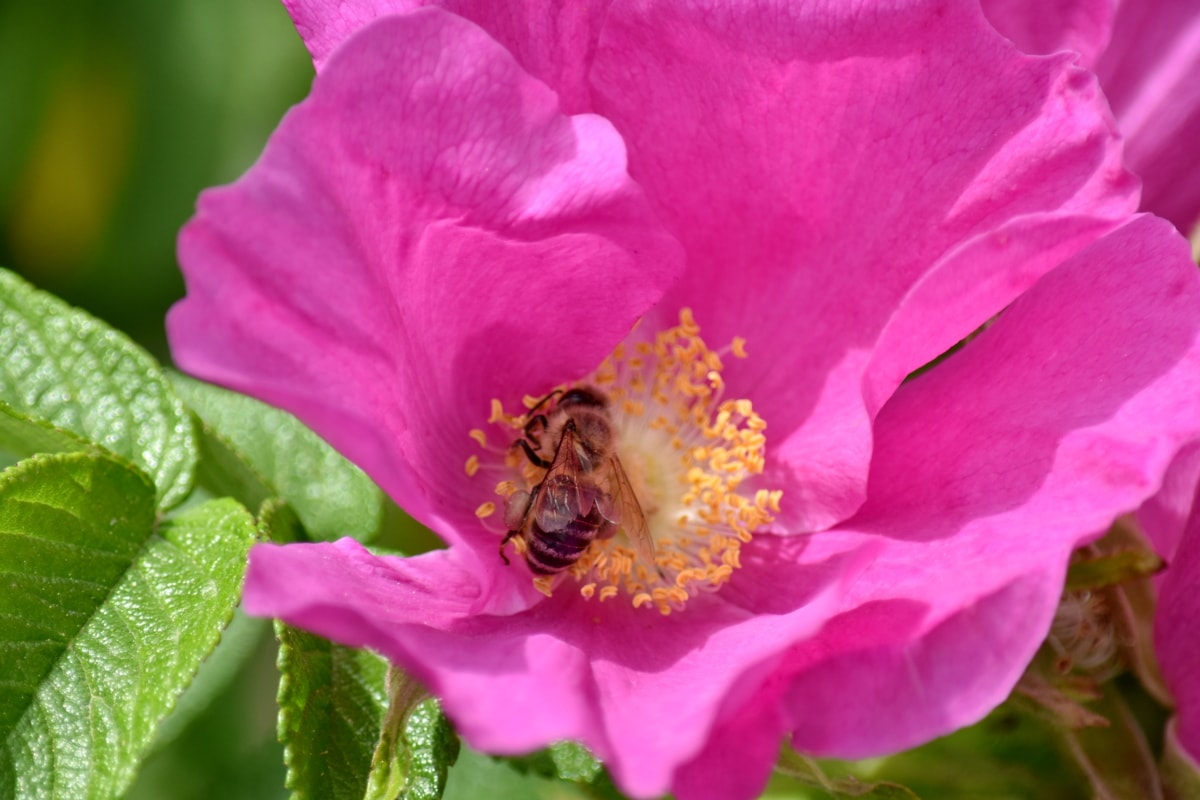 bee, flower bud, flower garden, honeybee, insect, pistil, pollen, rose, flower, nature