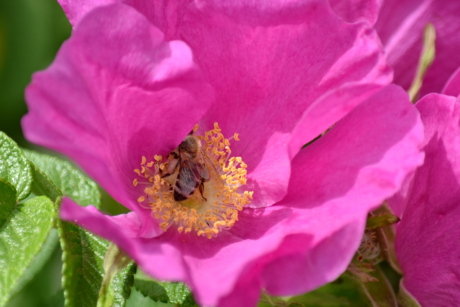 bee, honeybee, pollen, rose, flora, shrub, plant, nature, petal, flower