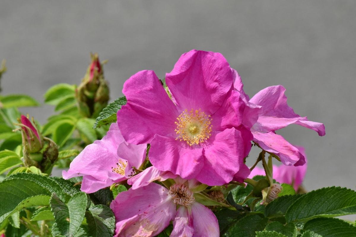 blossom, flora, nature, shrub, rose, leaf, petal, plant, pink, flower