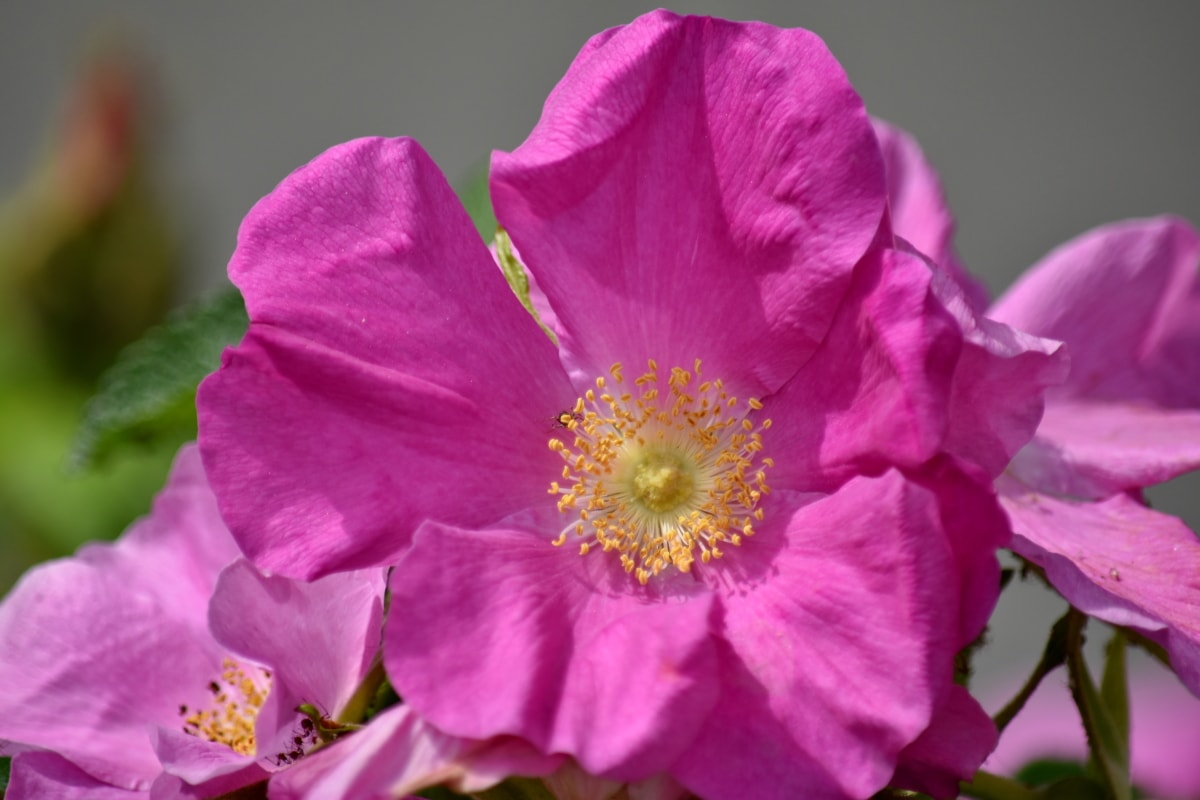 pink, rose, wilderness, flower, garden, plant, petal, nature, flora, shrub