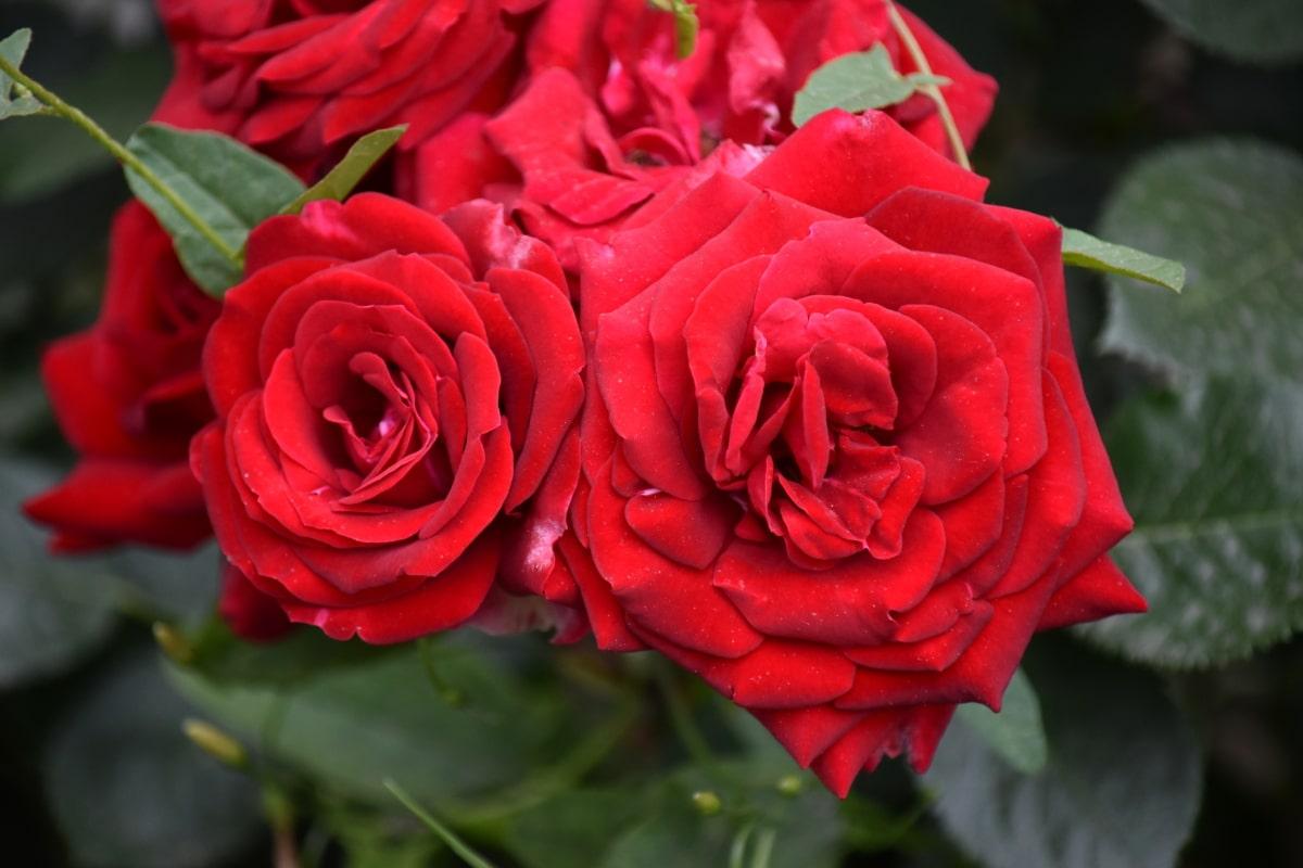 красиво изображение, едър план, цвят, зелени листа, червен, Роза, храст, романтика, растителна, цъфтят