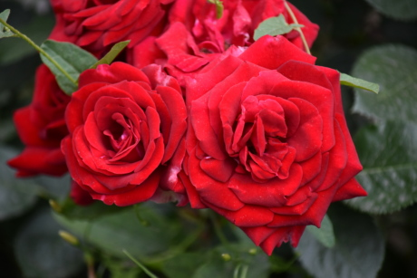 beautiful photo, close-up, color, green leaves, red, rose, shrub, romance, plant, blooming