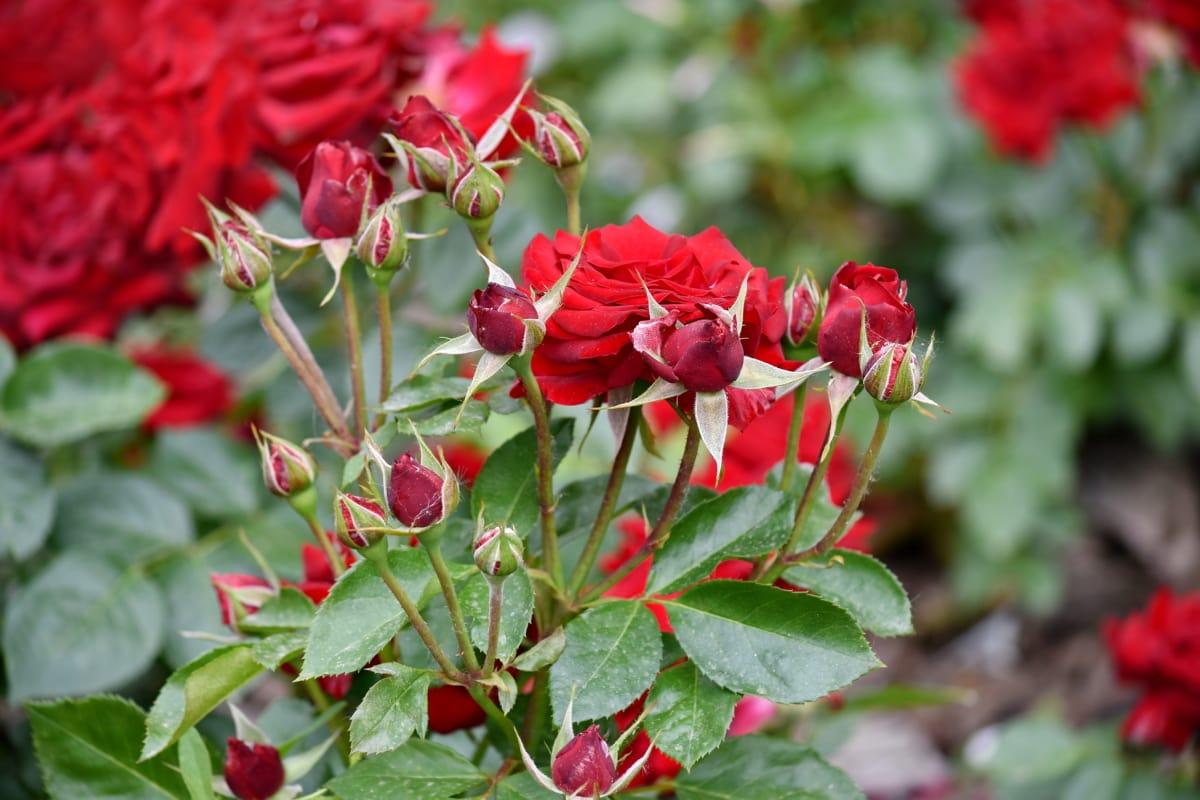квітник, Троянди, природа, флора, квітка, лист, завод, Троянда, сад, чагарник