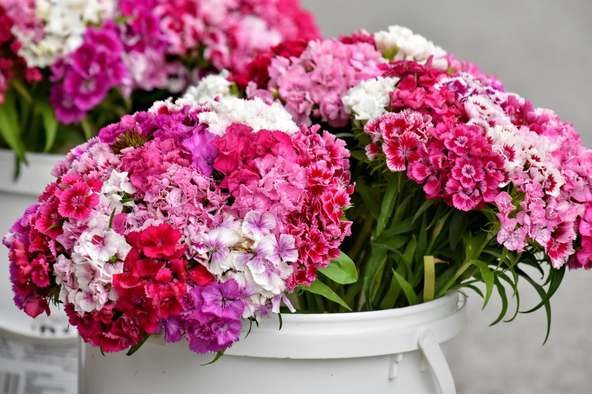 bucket, carnation, cluster, outdoors, pinkish, flora, summer, petal, bouquet, blooming