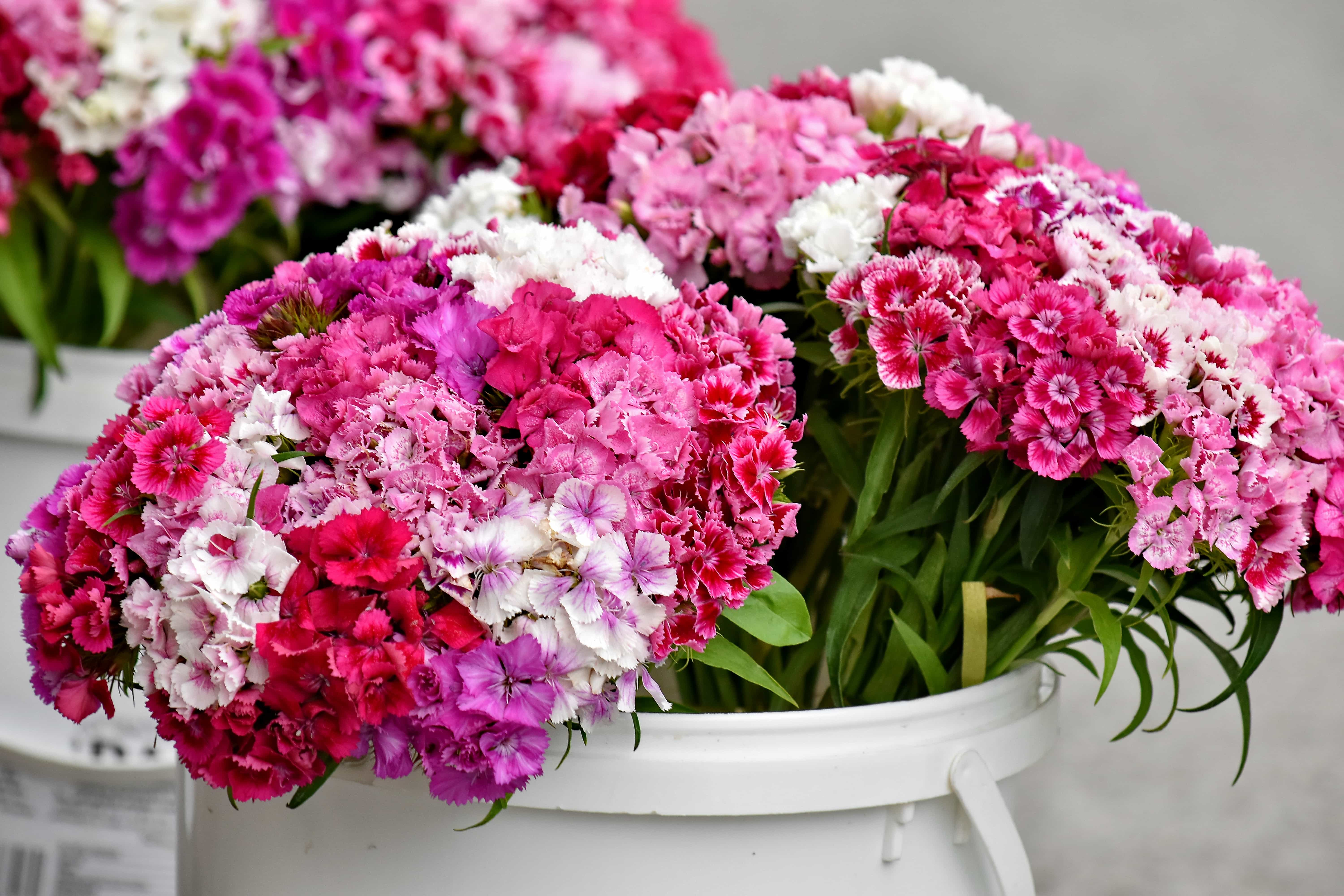 Free Picture Bucket Carnation Cluster Outdoors Pinkish Flora Summer Petal Bouquet Blooming