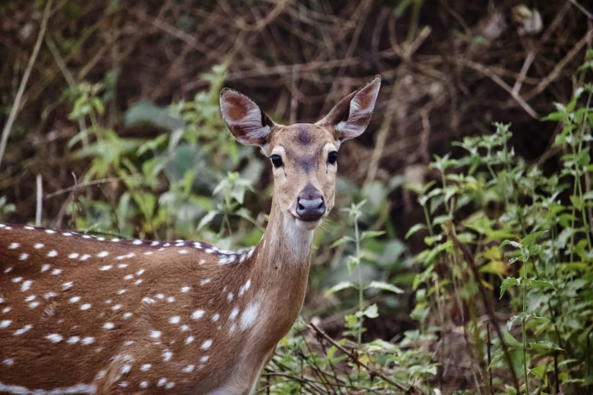 animal, cerf, Fawn, nature sauvage, faune, nature, placentaire, bois, sauvage, herbe