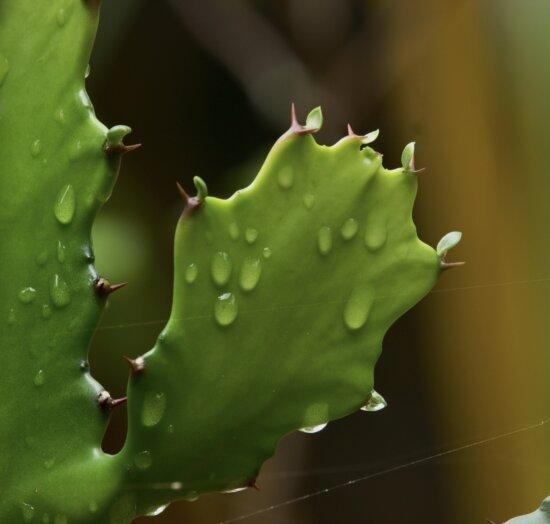 Cactus, rugiada, foglie verdi, goccia di pioggia, tela di ragno, bagnato, pianta, natura, Flora, colonna vertebrale