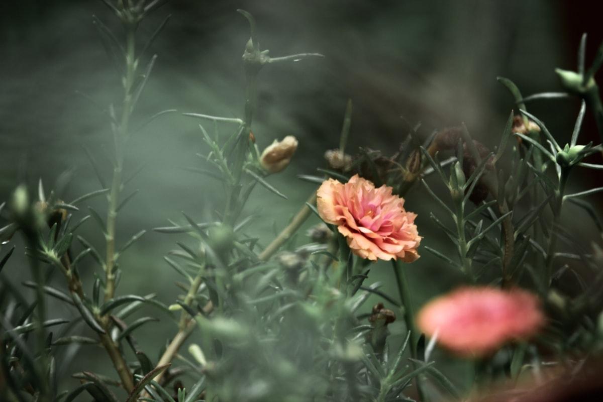 brouiller, Carnation, fleur, jaune orangé, jardin, plante, pétale, nature, Floraison, fleur