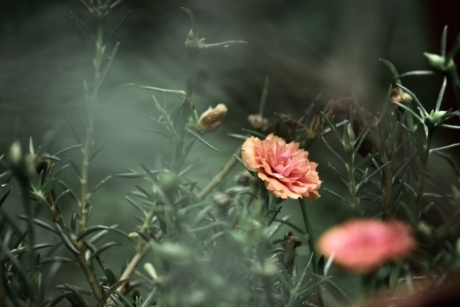 blur, carnation, flower, orange yellow, garden, plant, petal, nature, bloom, blossom