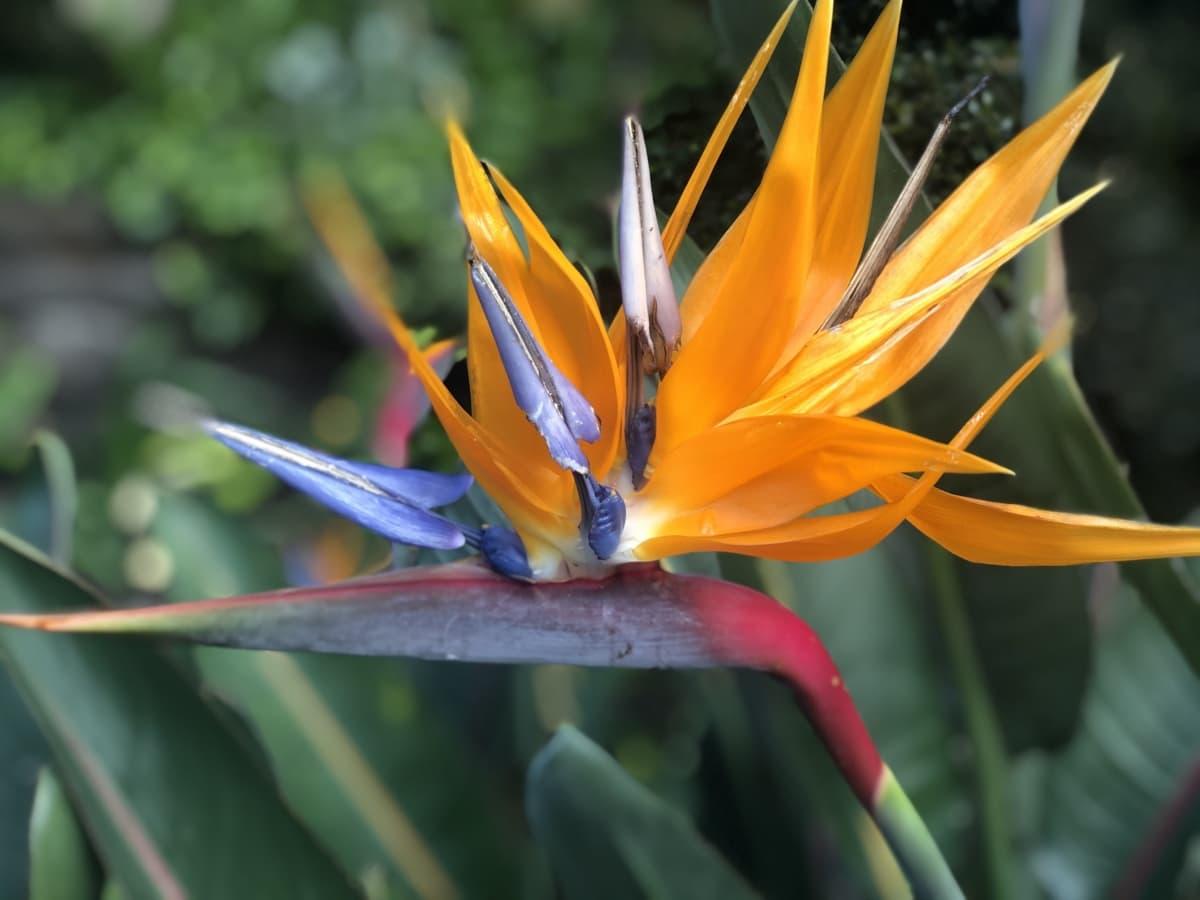 egzotično, cvijet, cvjetni vrt, narančasto žuta, tropsko, biljka, list, priroda, flora, vrt