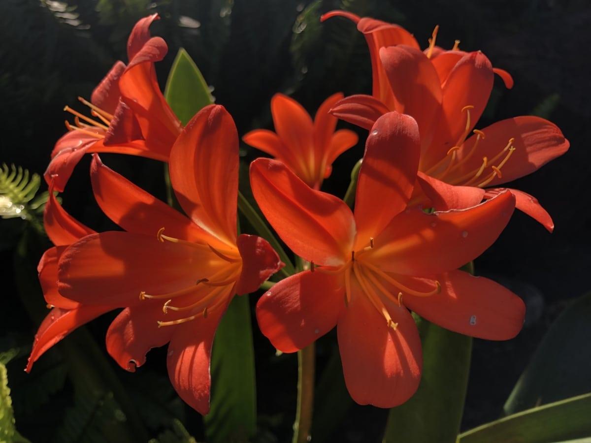 Amaryllis, jardín de flores, flores, rojo, sombra, floración, planta, resorte, Pétalo, flor