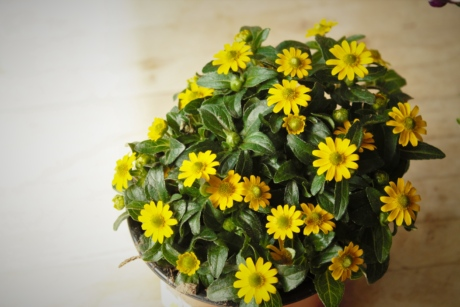 flowerpot, flowers, greenish yellow, hardwood, interior decoration, parquet, romantic, herb, flower, nature