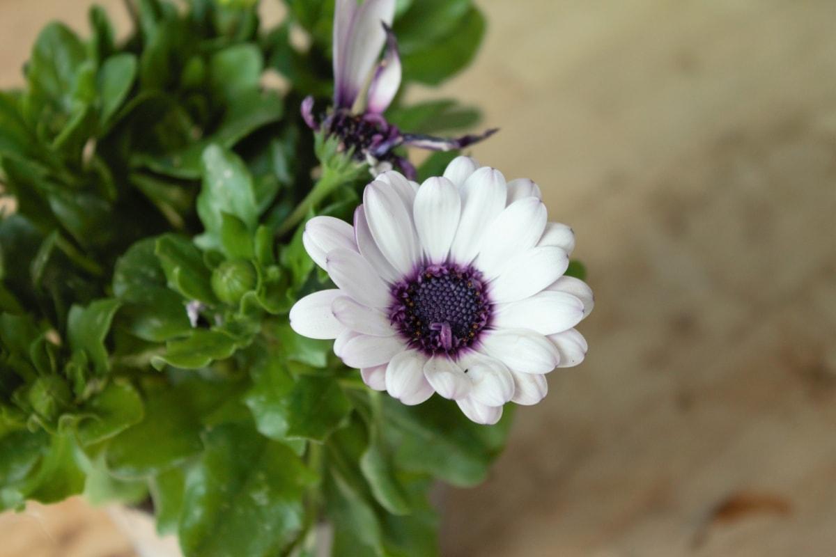 Blur, fokus, støvbærere, pollen, lilla, hvit blomst, blomstre, vår, blomst, flora