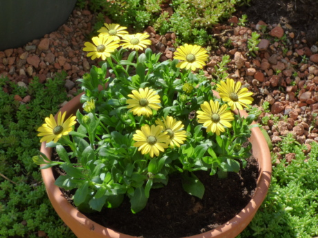 ceramics, flowerpot, greenish yellow, container, flowers, flower, plant, garden, gardening, summer