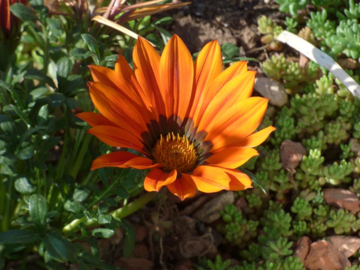 Çiçek Bahçesi, Turuncu Sarı, Bahçe, Ayçiçeği, çiçek, Petal, Papatya, Sarı, bitki, çiçeği