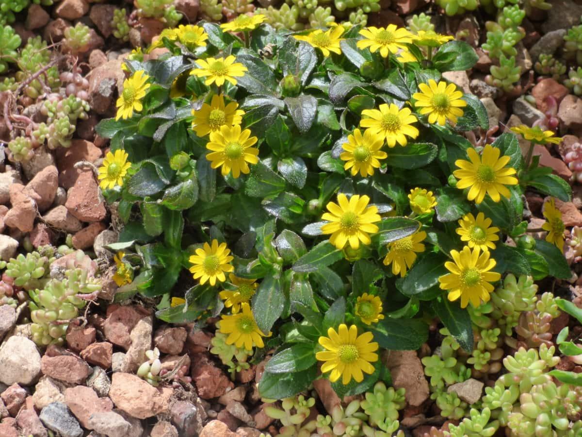 緑の葉, 緑がかった黄色, 岩, 野生の花, 花, ひまわり, 花, ハーブ, フィールド, 工場