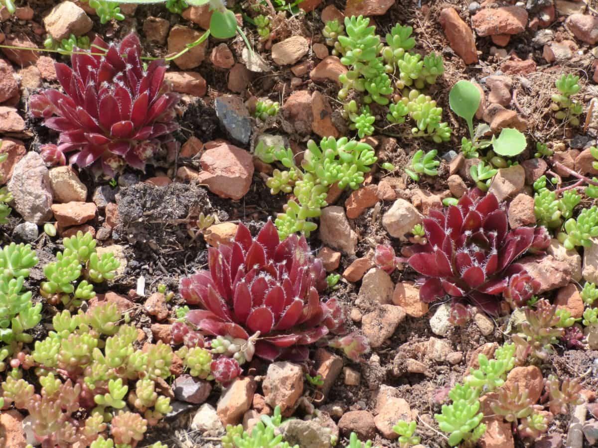 miniature, plante, à l'extérieur, arbuste, nature, Cactus, fleur, sol, feuille, flore