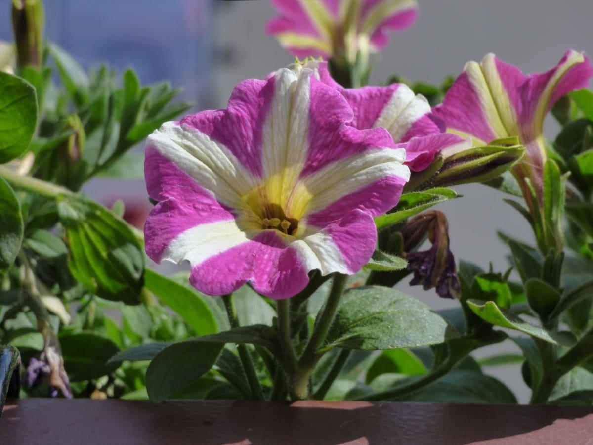 ペチュニア, 雌しべ, 紫色, 白, 花, 自然, 工場, 低木, 葉, ピンク