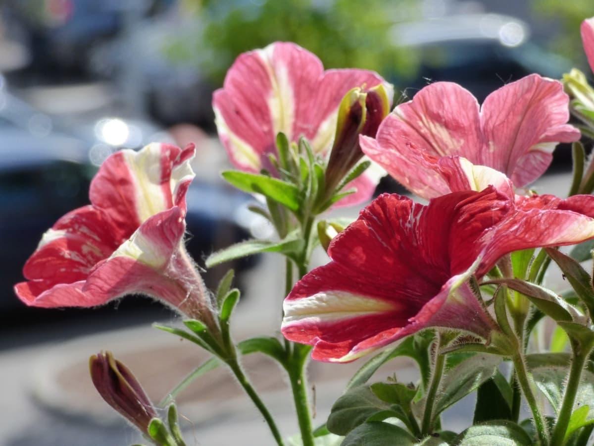 jardin fleuri, mise au point, Pétunia, rougeâtre, fleurs, nature, été, fleur, jardin, arbuste