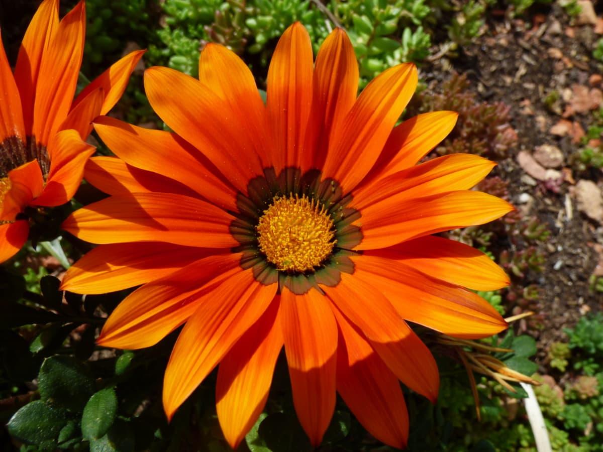 色, フラワー ガーデン, オレンジ黄色, 花びら, 雌しべ, 花, 葉, 工場, デイジー, ひまわり