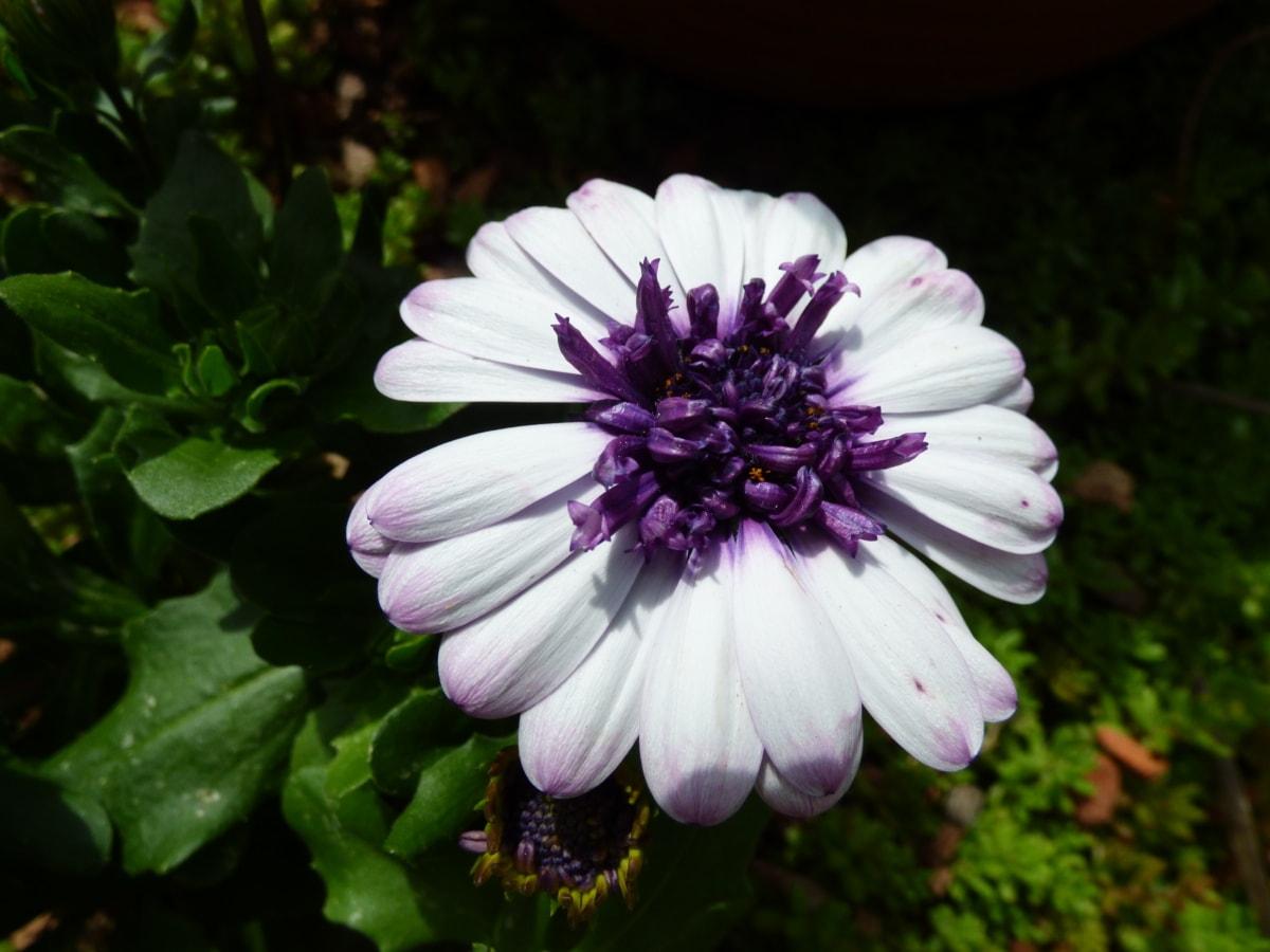piestik, peľ, purpurovo, odtieň, tieň, biely kvet, príroda, letné, Záhrada, kvet