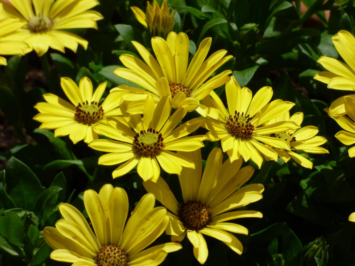 flower garden, horticulture, yellowish brown, sunflower, nature, leaf, flower, flora, daisy, yellow
