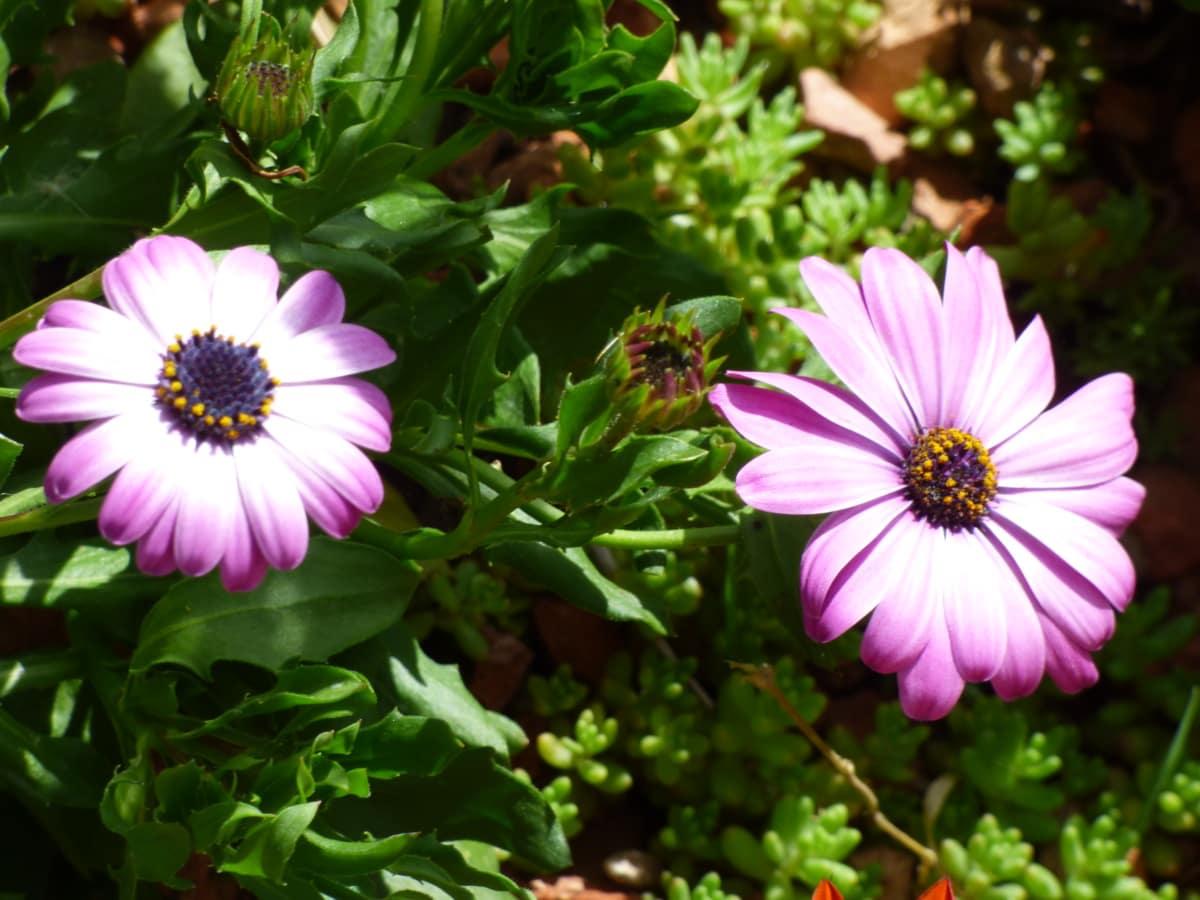 розмито, квіти, Маточка, Purplish, квітка, лист, завод, цвітіння, Пелюстка, флора