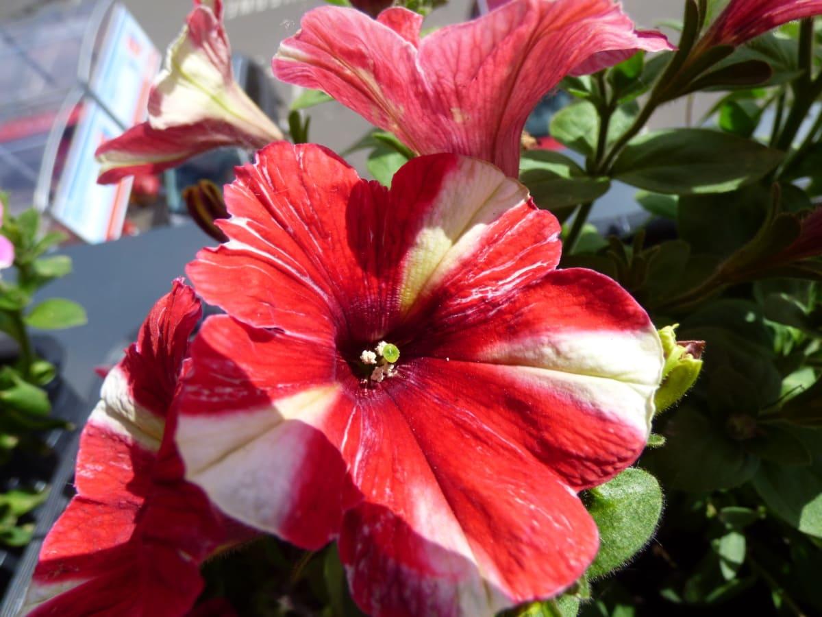flower bud, flower garden, petunia, pistil, pollen, red, flowers, plant, flower, bright
