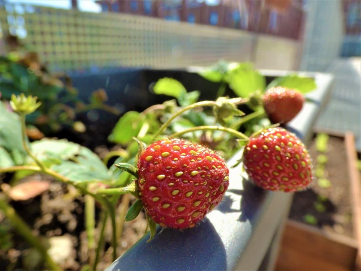 Taman, berkebun, wilayah urban, buah, manis, stroberi, makanan penutup, daun, stroberi, makanan