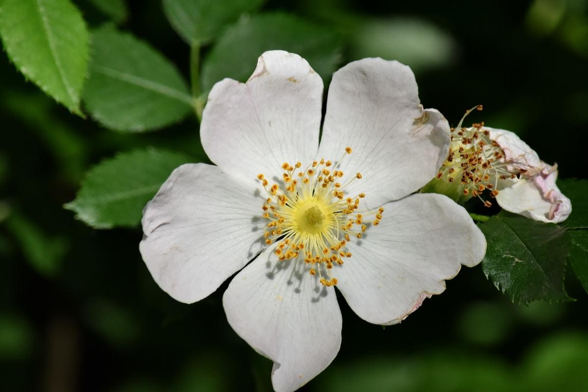 рози, бели цветя, диви цветя, дива природа, цветя, листа, флора, цветен прашец, градина, Стамен