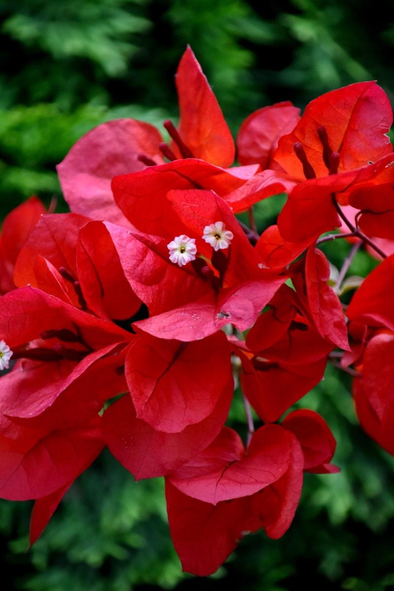 grener, blomsterhage, blader, rød, rødlig, busk, blomster, kronblad, blomst, anlegget