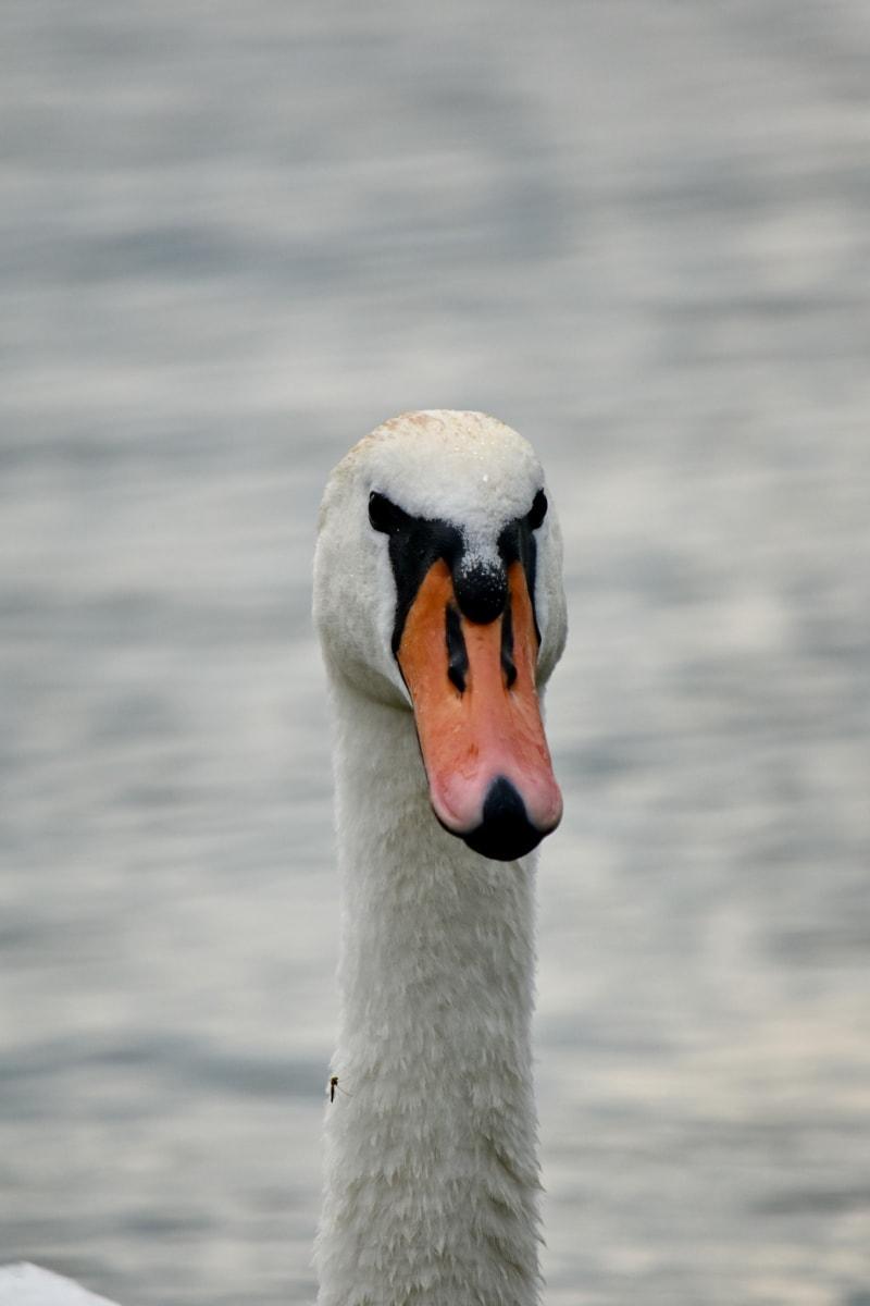 จะงอยปาก, ใกล้ชิด, ตา, ขนนก, หัว, หงส์, ว่ายน้ำ, นกน้ำ, สัตว์ป่า, ปีก