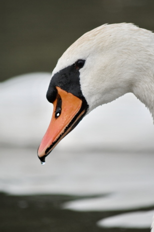 beak, eye, feather, head, side view, skin, swan, waterdrop, bird, aquatic bird