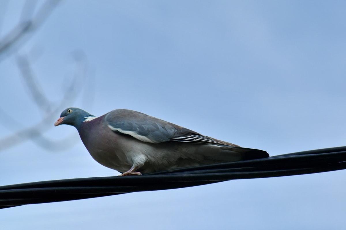 นกพิราบ, สายโทรศัพท์, สัตว์ป่า, นกพิราบ, ธรรมชาติ, นก, สัตว์, จะงอยปาก, ขนนก, กิจกรรมกลางแจ้ง