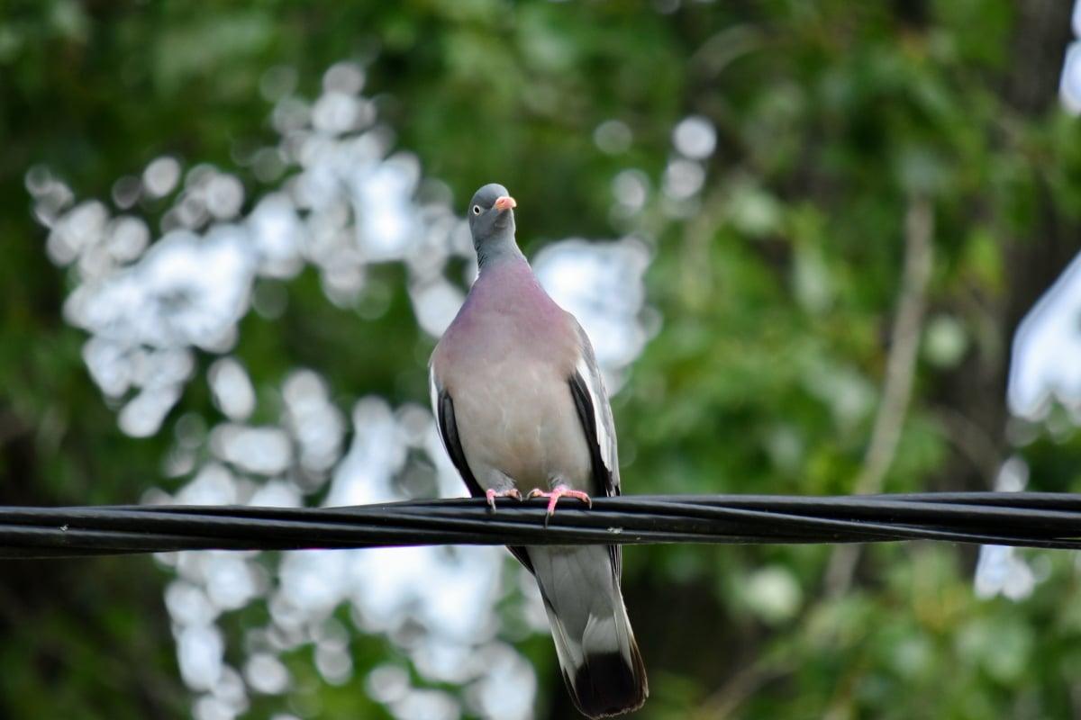 Pigeon, nature sauvage, faune, fils, oiseau, Colombe, bec, panache, nature, à l'extérieur