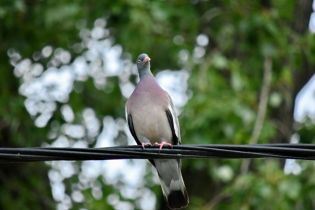 pigeon, wilderness, wildlife, wires, bird, dove, beak, feather, nature, outdoors