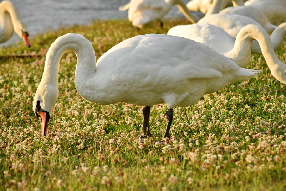 vtáky, Trávne rastliny, pasenie, labuť, voľne žijúcich živočíchov, zobák, vták, Vodné vták, Wading vták, voda