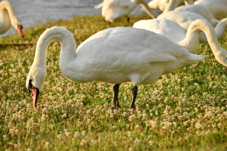 birds, grass plants, grazing, swan, wildlife, beak, bird, aquatic bird, wading bird, water