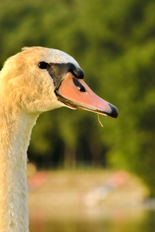 beak, eye, head, looking, natural habitat, portrait, side view, swan, wilderness, wildlife