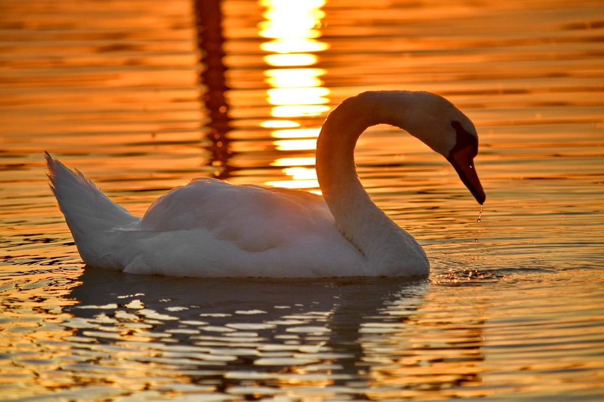 grace, lake, side view, sunset, swan, swimming, waterdrops, bird, water, aquatic bird